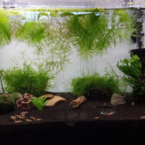 Platinum Soil Shrimp tank