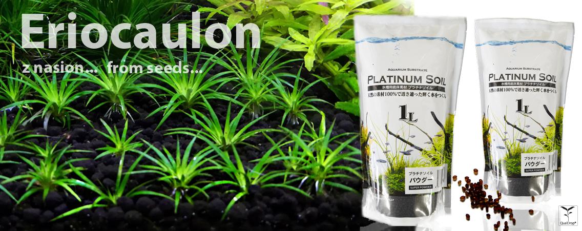 Eriocaulon z nasion - Eriocaulon from seeds